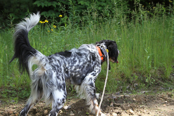 Field Bred English Setter